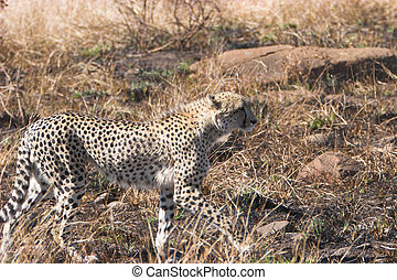 Cheeta stalking its prey , Acinonyx jubatus