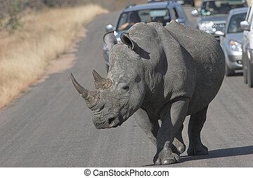 Rhino - White rhinoceros , Ceratotherium simum,