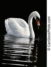 The swan admires the reflection