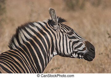Zebra shake - Zebra shaing of flies, Burchell;s zebra, Equus...