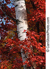 Wrapped Tree - Red maple leaves surrounding a birch tree in...