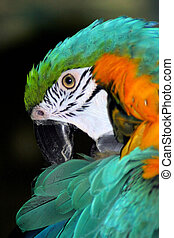 Macaw Parrot. - Close up of a Macaw parrot.
