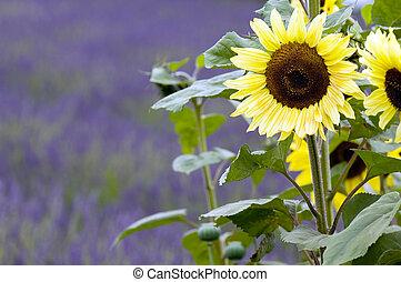 Sunflower - Lavender fields in rural Washington