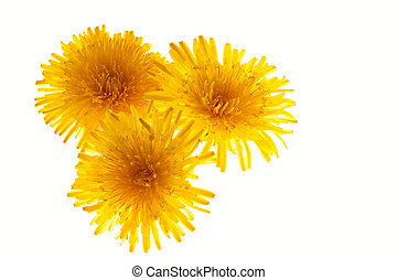 Dandelions background - Solar bright dandelions background