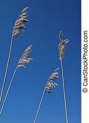 Dead grass - Dead reed flowerheads