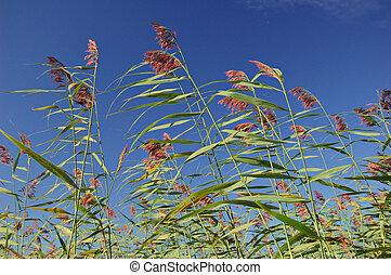 Reeds - Phragmites reedbed