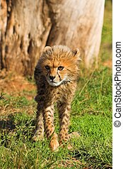 Cheetah Cub - Cheetah cub walking towards the camera