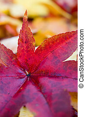 Red Leaf - A fallen red Japanese laple leaf