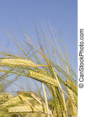 Morning Barley - Ripening Barley with the early morning sun...
