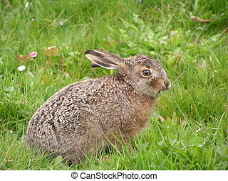 Hare Youngster