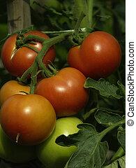 tomato - unripe tomatoes