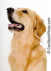 Golden Retreiver - A three year old golden retreiver dog...