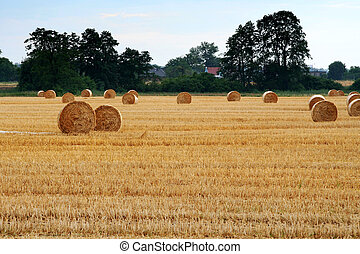 After harvest - Balls of straw on the stubble.