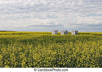 Bees and Canola - Bee hives in a canola field The black...