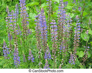 Lupine blooming in Alaska\\\'s Tongass National Forest.