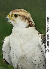 presa, pássaro, Falcão