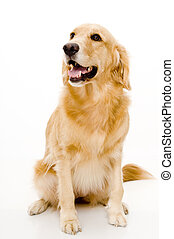 Pet Dog - A golden retriever shot in studio with white...