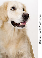 Golden Retriever - A beautiful golden retriever pet dog on...