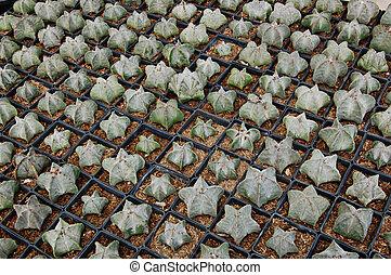 Cactus propagation - Cacti propagation in small pots