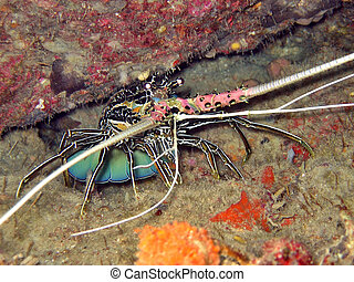 Spiny Lobster - Seafood favourite