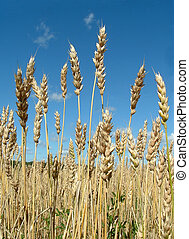 Standing Tall - Once again it\\\'s wheat ripe and ready to...