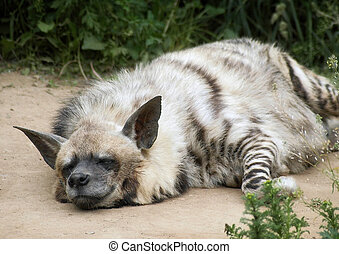 hyena - Satisfied hyena