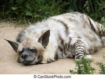hyena - Satisfied hyena