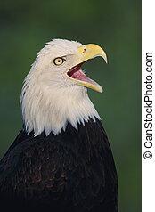 calvo, águila