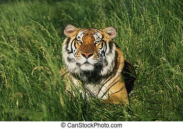 Bengal Tiger Panthera tigris tigris laying in grass