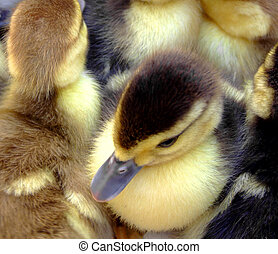 Small ducks - Several cute small ducks with one fully...