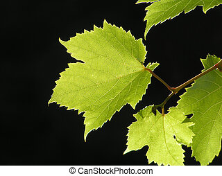 grape leaf - Green structured transparent grape leaf on a...