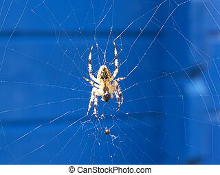 spider on the web - a spider eat on the web