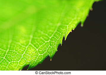 Green leaf edge - Extreme macro of green leaf edge, very...