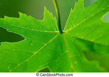 Green leaf maple - Extreme macro of green maple leaf