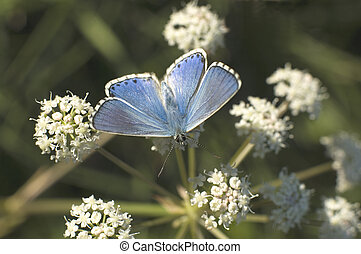 butterfly - blue butterfly on flower