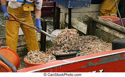 Shrimp On The Boat - A shrimper shovelling a load of shrimp...