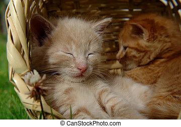 two sleeping kittens in the basket