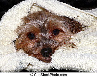 After the Bath - A Yorkshire Terrier all wrapped up in a...