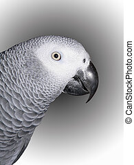 African Grey Parrot - A close of portrait of a Congo African...