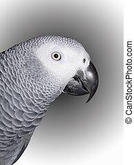 africano, cinzento, Papagaio