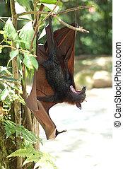 Fruit Bat 2 - fruit bat found in Malaysia