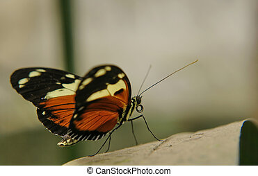 ecuadorian butterfly - the ecuadorian butterfly