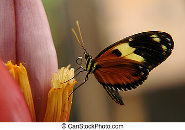 ecuadorian butterfly - the ecuadorian butterfly sitting on...