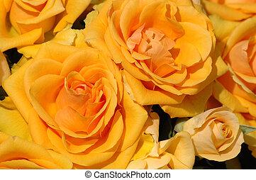petal orange and yellow roses