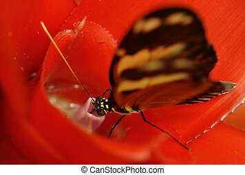 ecuadorian butterfly - the ecuadorian butterfly drinking...