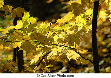 Maple Tree Leaves in the Fall