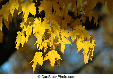Red Oak Tree in the Fall