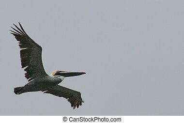 ecuadorian pelican - the ecuadorian pelican