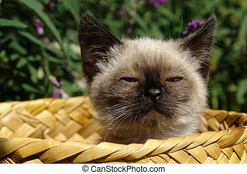 siamese kitten - the siamese kitten siting in basket
