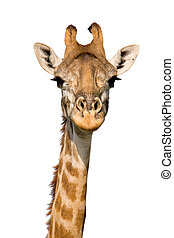 Massai Giraffe Close-up isolated on White Massai Mara, Kenya...